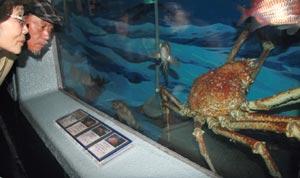 全長3メートル、世界最大級の大物タカアシガニ=静岡市清水区の東海大海洋科学博物館で