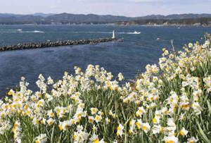 海との鮮やかな色の対比を見せるスイセン=志摩市の安乗埼灯台で