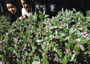 日差しを受け、甘く上品な香りを漂わせるジンチョウゲ=磐田市中泉の府八幡宮で(山田英二撮影)