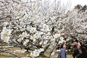 見ごろを迎え、甘い香りを漂わせる梅園=津市片田田中町で