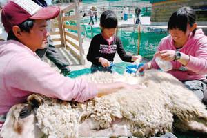 羊の毛刈りをする子どもたち