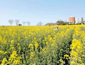 約30万本の菜の花でできた迷路