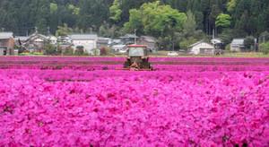 一帯を鮮やかなピンクで染めるシバザクラ=大野市中丁で