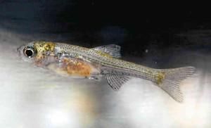 イチモンジタナゴの稚魚=6月、県立琵琶湖博物館で