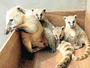 長い鼻が特徴のアカハナグマの3つ子と母「ビップ」(左)=能美市のいしかわ動物園で(同園提供)
