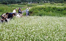 段々畑に咲く奈川の白ソバの花