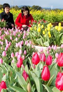 寒風の中、色鮮やかに咲きそろったチューリップ=5日、浜松市西区舘山寺町で(袴田貴資撮影)