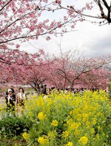 菜の花との競演が美しい河津桜(河津川沿いで14日撮影)