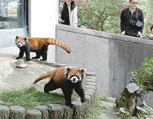 「西山動物園」のレッサーパンダ