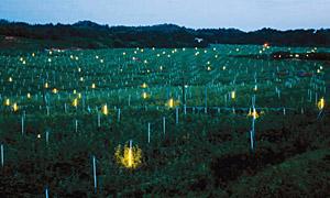 幻想的な「奥谷梨園」の防蛾灯