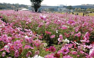 風にゆれる100万本のコスモス=長久手町の愛・地球博記念公園で