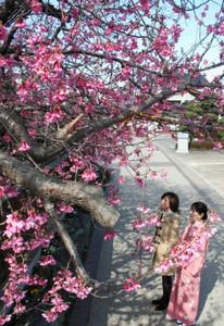 八分咲きとなった寒緋桜=碧南市坂口町で