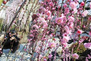咲き始めた梅の花=大垣市墨俣町墨俣の光受寺で