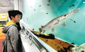 アリゲーターガー(右)など多くの外来種が展示された会場=名古屋市港区の名古屋港水族館で