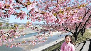 満開期を迎えた乙川沿いの河津桜=岡崎市で