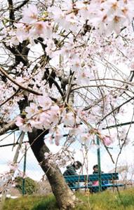 恒例のしだれ桜まつりが開幕した会場=幸田町芦谷で
