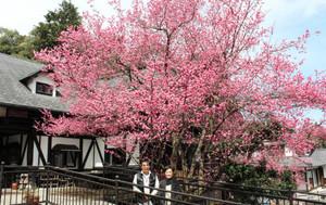 ハナモモの木が満開になったペンション「秋岡屋」=高浜町中山で
