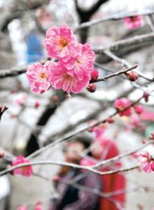 咲き始めた紅梅の花=箕輪町の信州伊那梅苑で