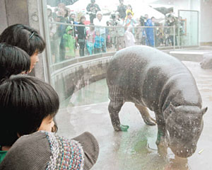 一般公開が始まったコビトカバ=能美市の県いしかわ動物園で