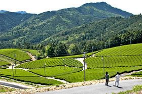 山あいの斜面に作られた茶畑