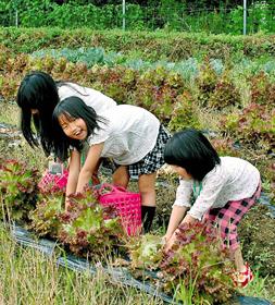 野菜畑でサニーレタスを収穫する子どもら