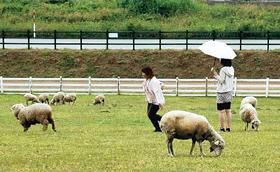 放牧場で羊と戯れる来園者