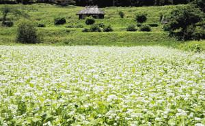 一面に白い花を咲かせた夏ソバ=安曇野市堀金烏川で