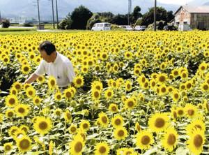 休耕田に咲き誇る3万本のヒマワリと、小森さん=菰野町潤田で