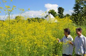 厳しい残暑の中、咲き誇るオミナエシ=富山市婦中町上轡田の県中央植物園で