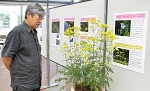 黄色の花を咲かせるオミナエシを眺める来場者=富山市婦中町上轡田の県中央植物園で