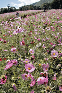 咲き乱れる色とりどりのコスモス=信濃町の黒姫高原で