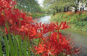 燃えるような赤色で吉野瀬川の両岸を彩るヒガンバナ=越前市上太田町で