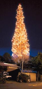 県道沿いから見ることができるイチョウの木を活用した巨大クリスマスツリー=藤枝市瀬戸ノ谷で