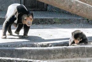一般公開された赤ちゃんグマ(右)。後ろで母親のノンがそっと見守る=豊橋市大岩町の豊橋総合動植物公園で