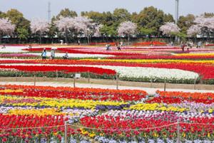 一面に咲きそろったチューリップ=桑名市長島町のなばなの里で