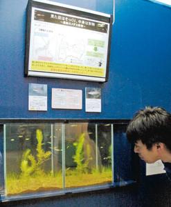 キタノメダカとミナミメダカの比較展示=魚津水族館で