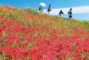 さわやかな秋空の下、矢勝川堤を赤く染めるヒガンバナ=昨年、愛知県半田市で
