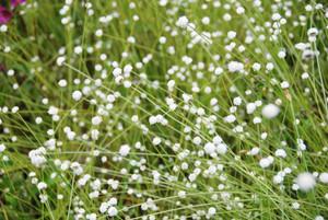 白いかれんな花を咲かせるシラタマホシクサ=豊田市の矢並湿地で
