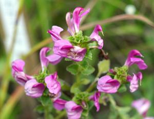 鮮やかに咲くミカワシオガマ=豊田市の矢並湿地で