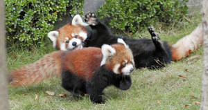 母親のミンファに寄り添って過ごす「ミルキー」(手前)=鯖江市の西山動物園で