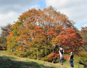 紅葉シーズンを迎え、色づき始めた七色大カエデ=長野県池田町の大峰高原で