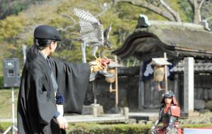 鷹匠の腕の上で鋭い眼光で翼を広げるオオタカ=福井市の一乗谷朝倉氏遺跡で