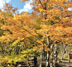 木々の葉が黄金に色づいた街道沿い=高山市清見町で