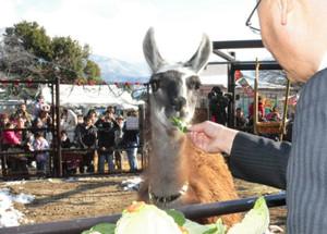 小林運営委員長に野菜を食べさせてもらうラマ=須坂市動物園で