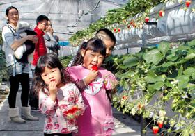 赤く色づいた実に手を伸ばしイチゴ狩りを楽しむ家族連れ=愛知県西尾市市子町で