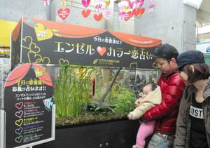 エンゼルフィッシュが水槽の中でくぐり抜けたハートの色で、恋占いを楽しむ親子連れ=各務原市川島笠田町の世界淡水魚園水族館で