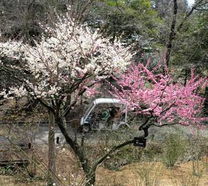 1本の木に白やピンクなど異なる色の花を咲かせる梅の品種「思いのまま」=名古屋市千種区の東山植物園で