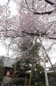 満開になった江南市天然記念物の弥陀桜=江南市前飛保町の曼陀羅寺で