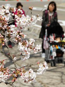 開花した彦根城のソメイヨシノ=彦根市で