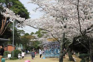 満開の桜の下で遊具などで楽しむ親子連れら=美濃市の小倉公園で